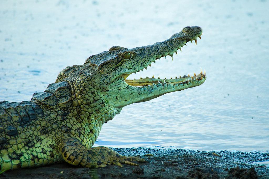 Croc in Selous