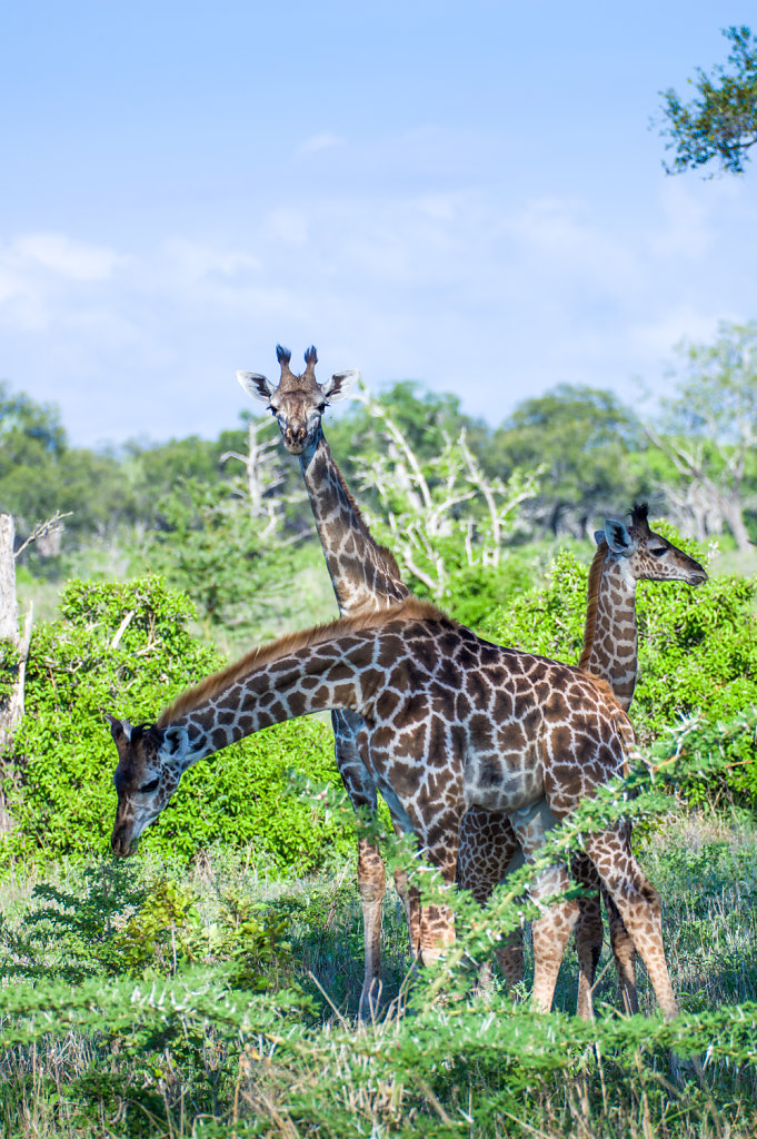 Girafefs x 3