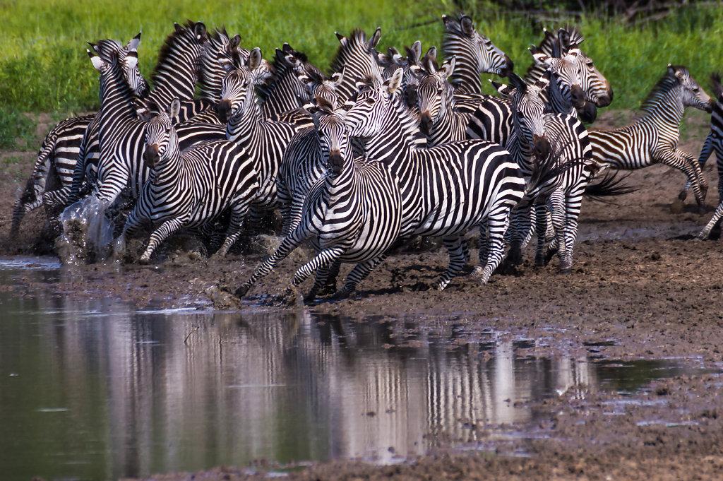 Nervy Zebras in Selous