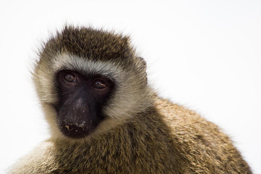 Vervet monkey, Ruaha