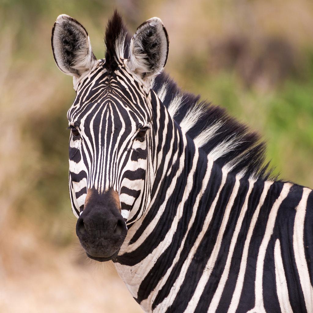 Zebra in Ruaha