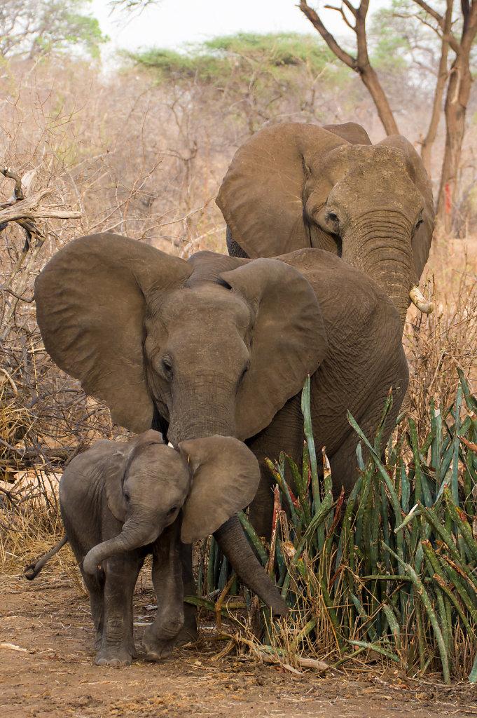 Baby elephant learning mock charging